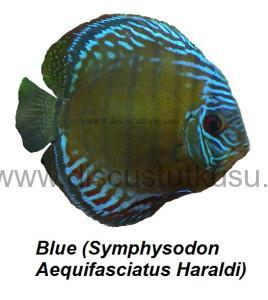 DMG Blue (Symphysodon Aequifasciatus Haraldi) copy