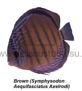 DMG Brown (Symphysodon Aequifasciatus Axelrodi) copy