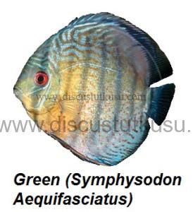 DMG Green (Symphysodon Aequifasciatus)