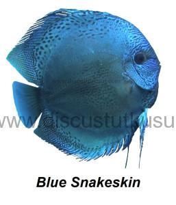 DMG blue snakeskin