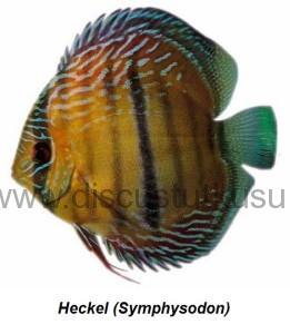 Heckel (Symphysodon)